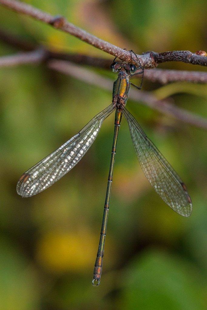 Weidenjungfer-Calcolestes-viridis-Maennchen.jpg