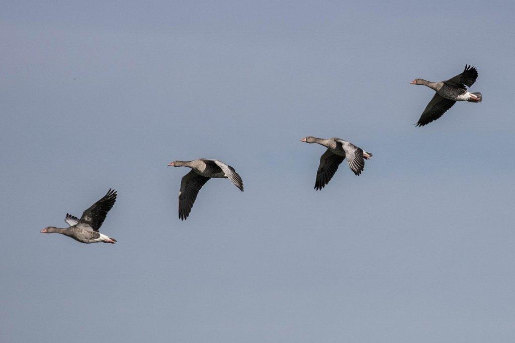 Wild-Geese-Anser-anser.jpg