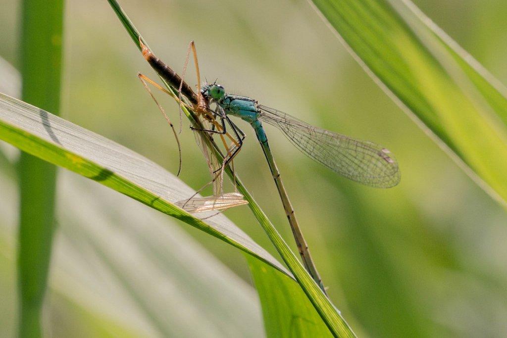 Grosse-Pechlibelle-Ischnura-elegans-mit-Beute.jpg