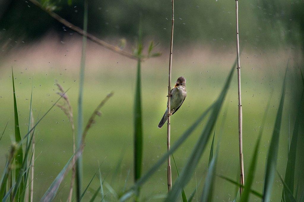 Sumpfrohrsaenger-Acrocephalus-palustris.jpg