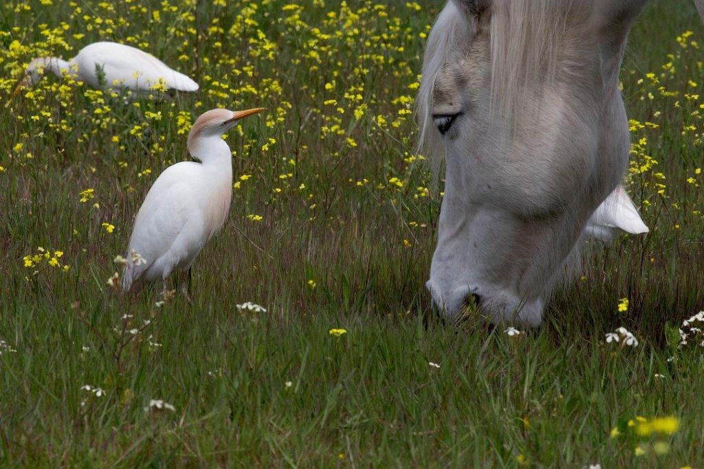 18-Kuhreiher-mit-Pferd.jpg
