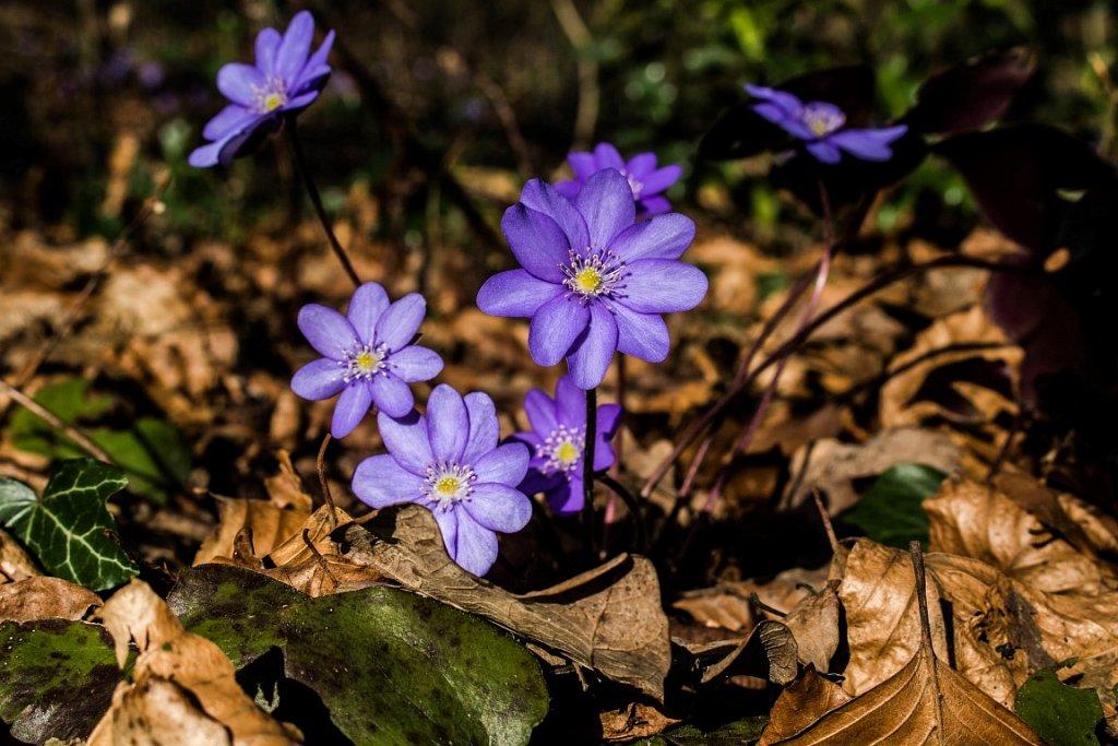 Fruehlingsbote-Leberbluemchen.jpg