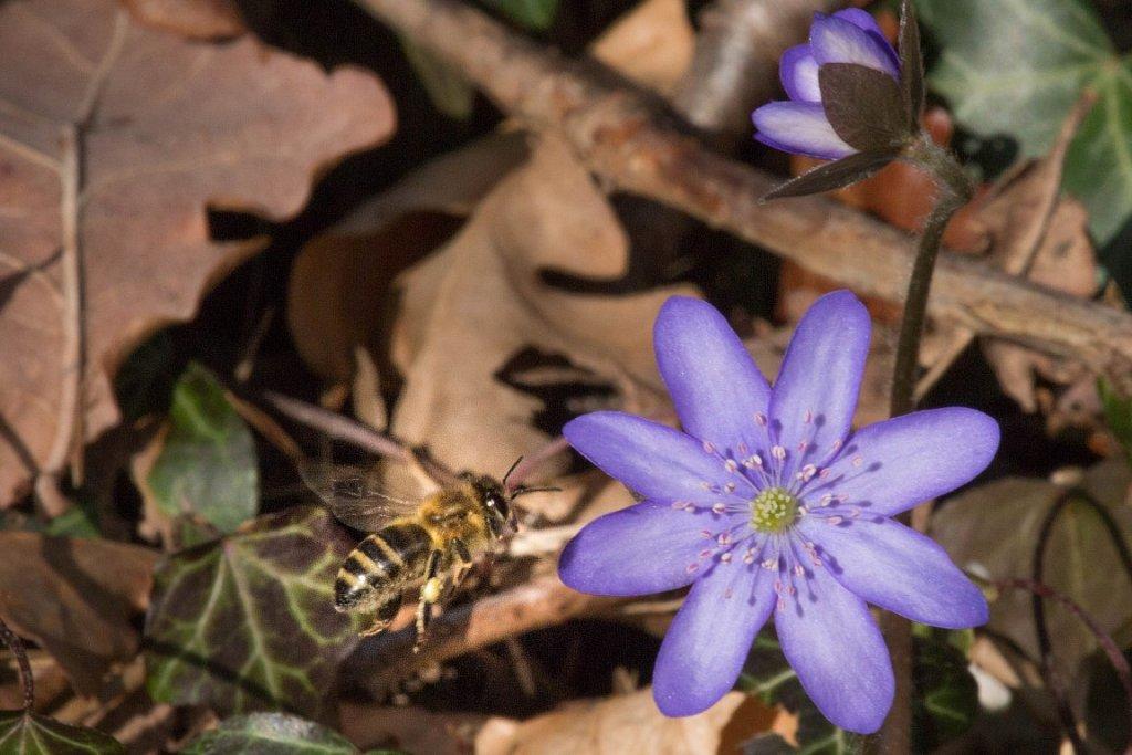 Leberbluemchen-mit-Honigbiene.jpg