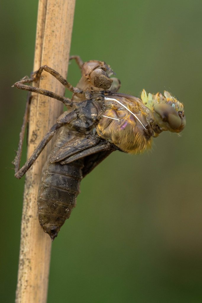 Eine-Libelle-schluepft-Glaenzende-Smaradlibelle-Somatochlora-metallica.jpg