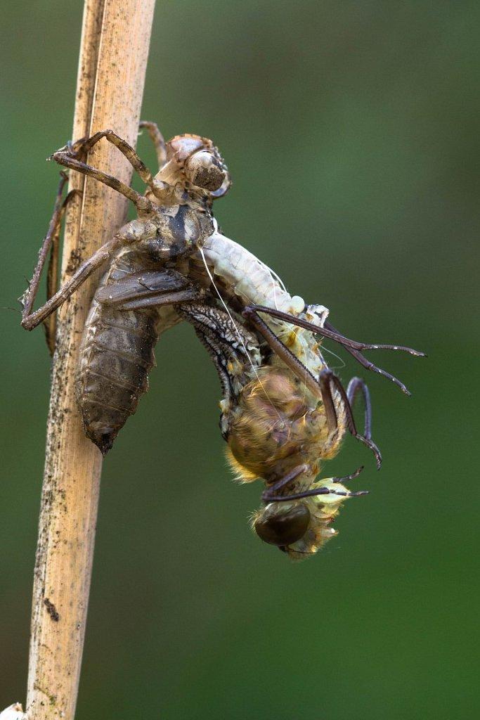 Eine-Libelle-schluepft-2-Glaenzende-Smaradlibelle-Somatochlora-metallica.jpg