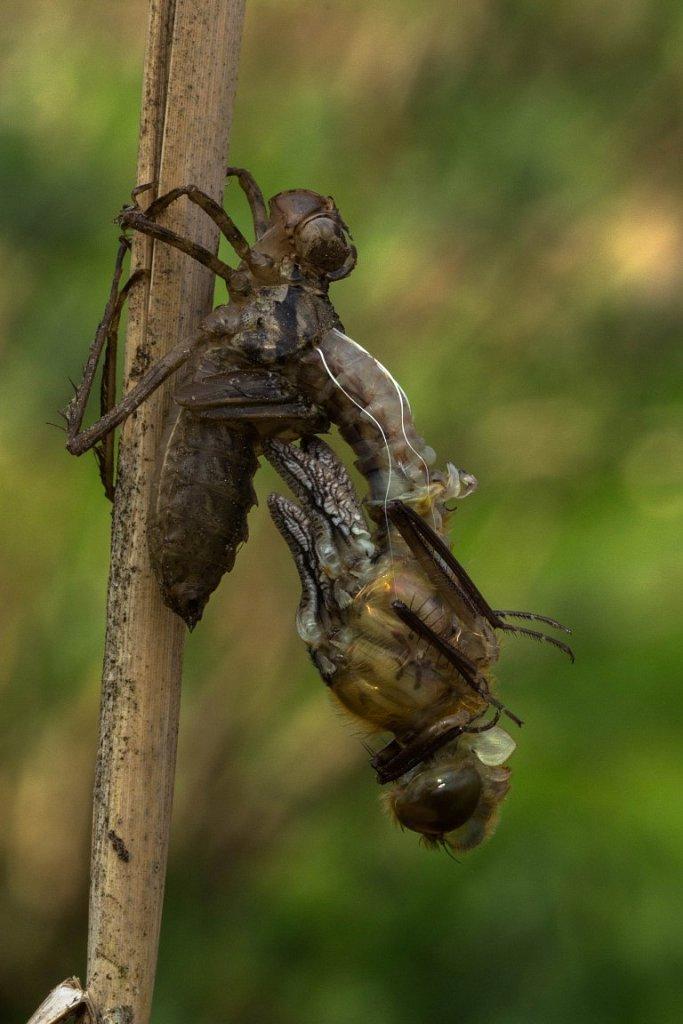 Libelle-beim-Schluepfen-3-Glaenzende-Smaradlibelle-Somatochlora-metallica.jpg