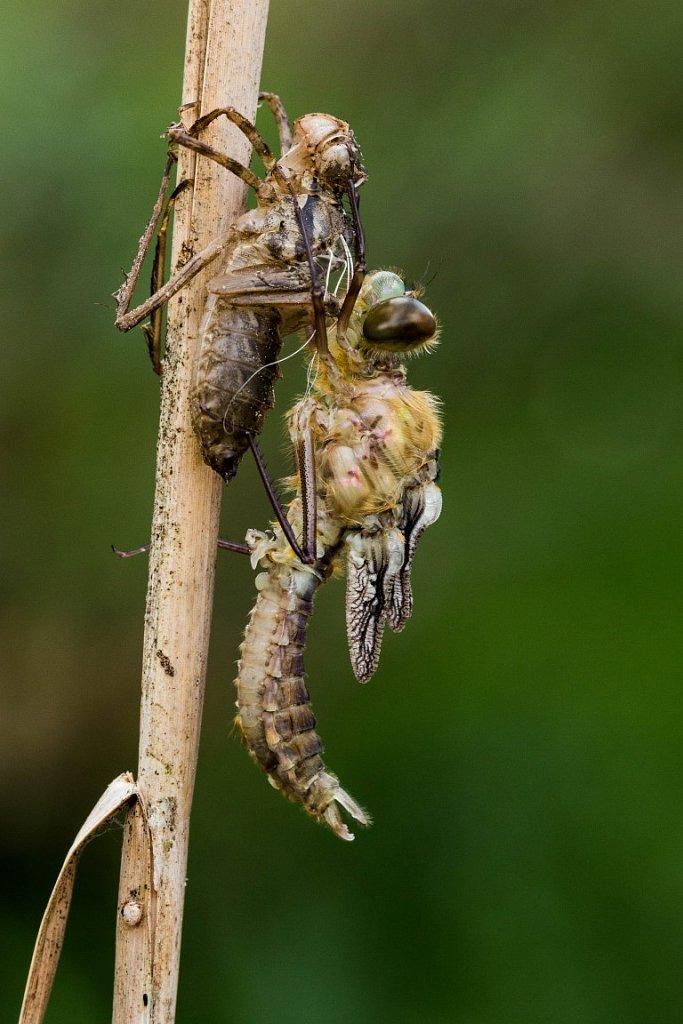 Libelle-beim-Schluepfen-4-Glaenzende-Smaradlibelle-Somatochlora-metallica.jpg