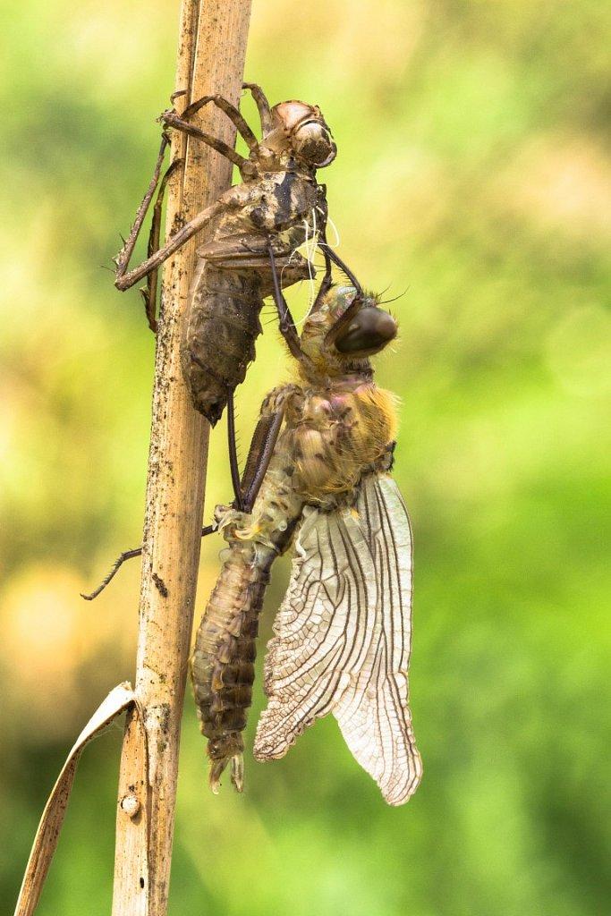 Libelle-beim-Schluepfen-5-Glaenzende-Smaradlibelle-Somatochlora-metallica.jpg