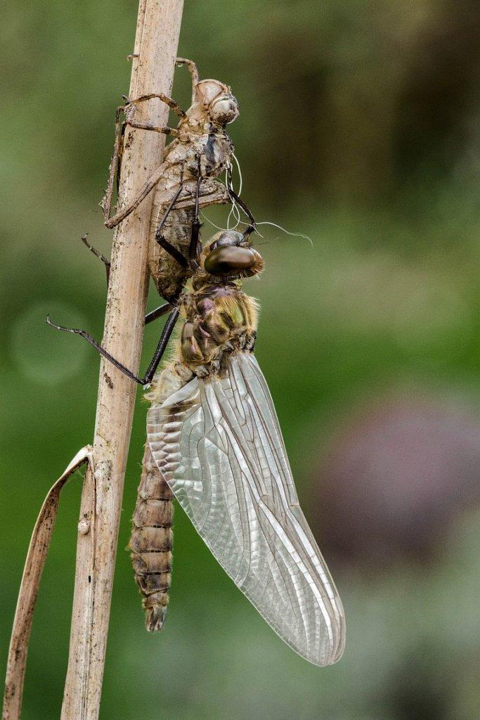 Libelle-beim-Schlupf-5-Glaenzende-Smaradlibelle-Somatochlora-metallica.jpg
