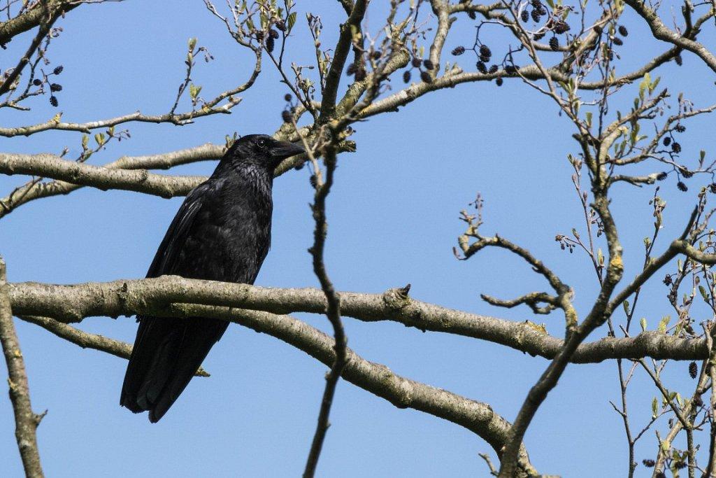 Rabenkraehe-Corvus-corone.jpg