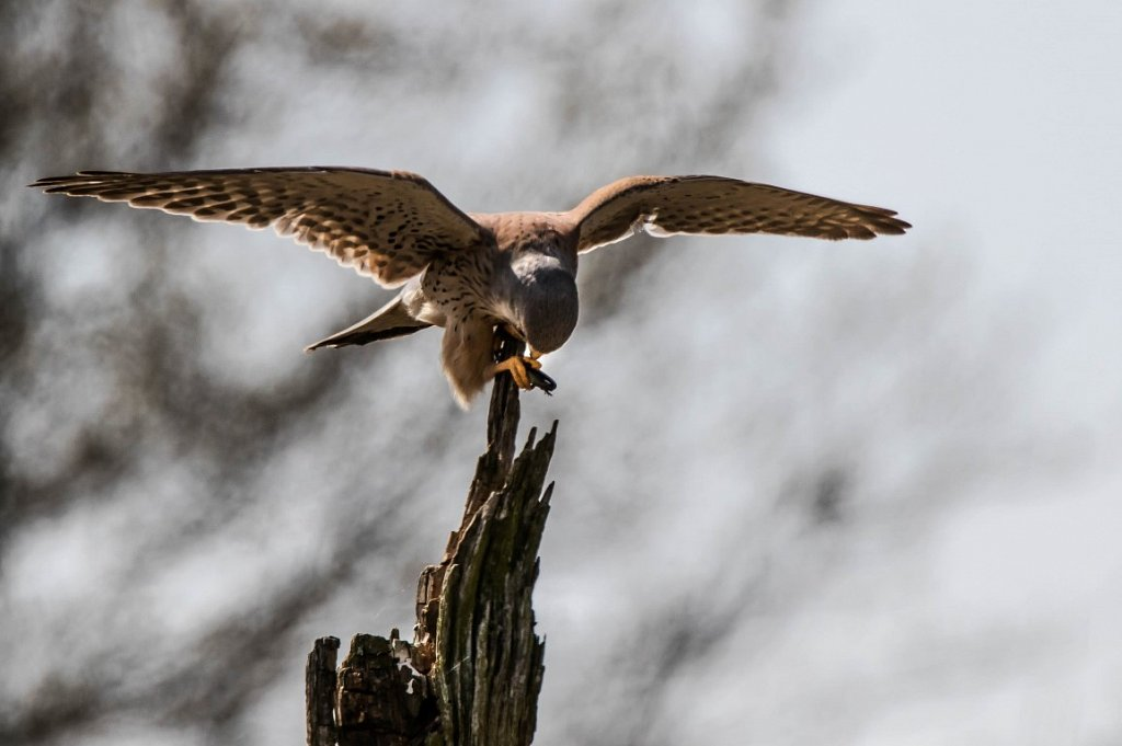 Turmfalke-mit-Eidechsen-Beute-Falco-tinnunculus.jpg