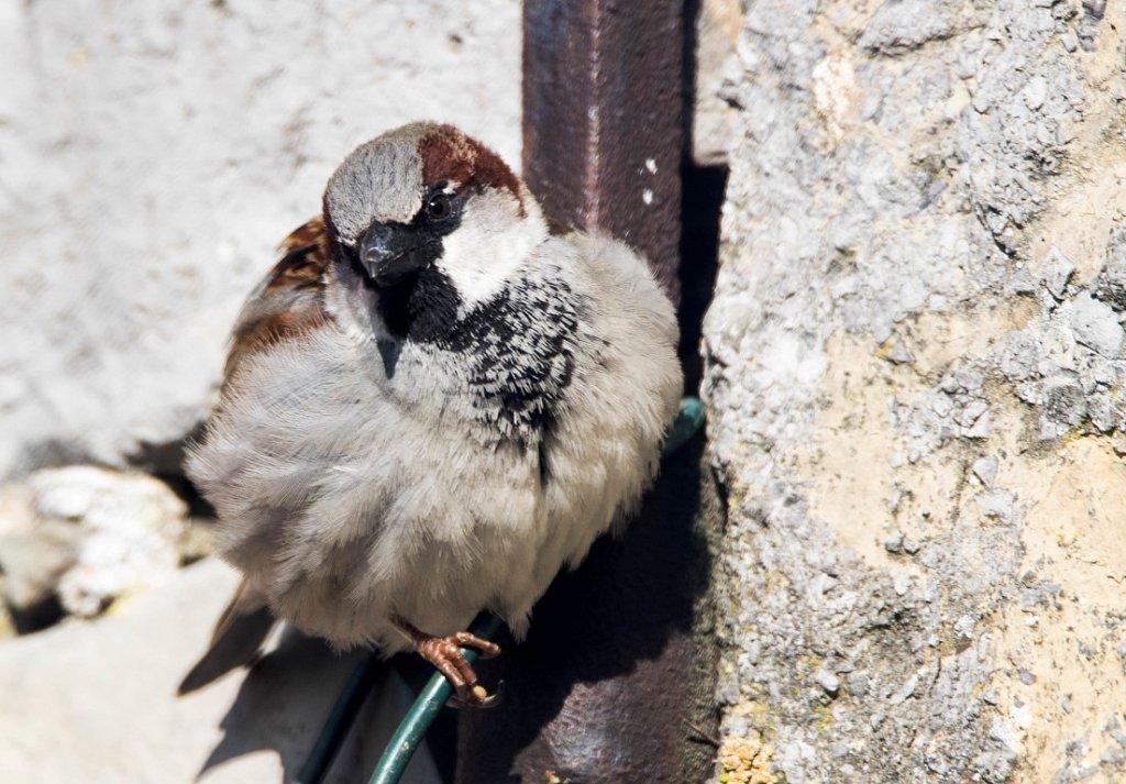 Haussperling - Männchen (Passer domesticus)