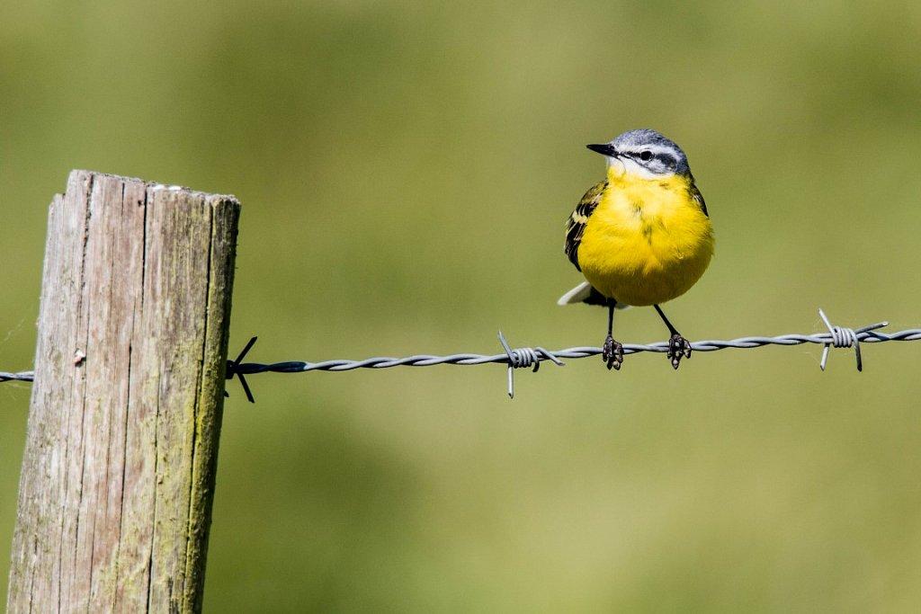Schafstelze-Motacilla-flava-Western-yellow-wagtail.jpg