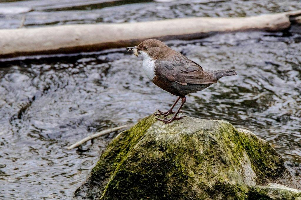 Wasseramsel auf dem Weg zum Nest