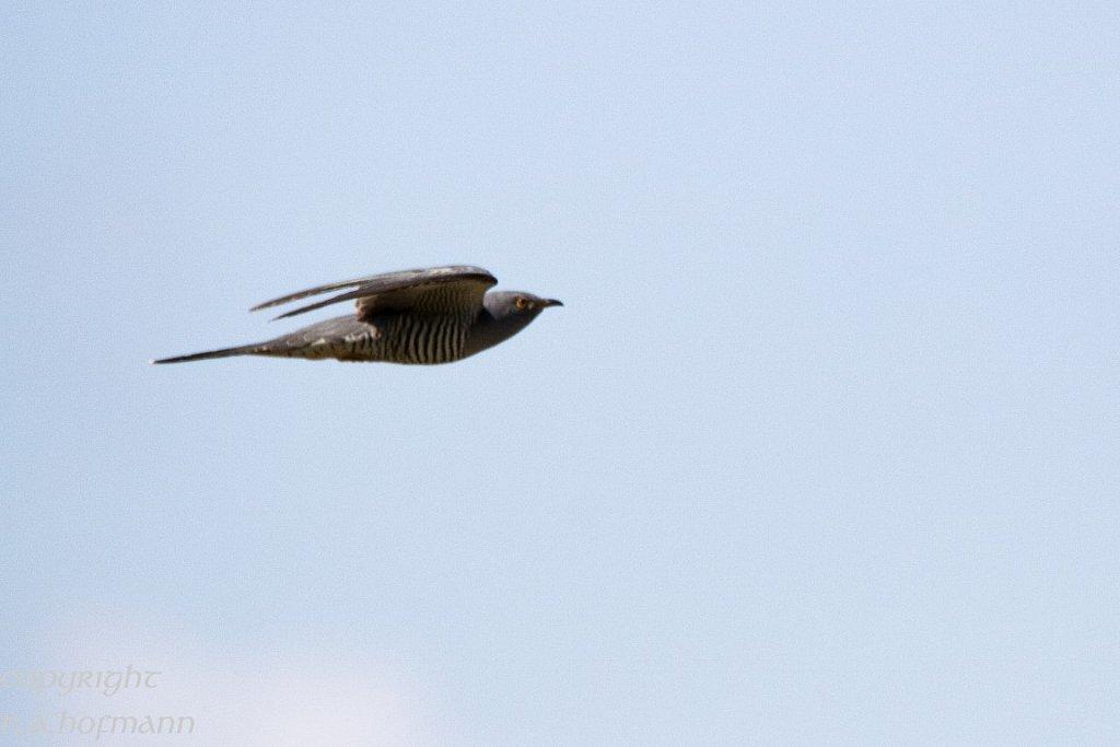 Ein Kuckuck fliegt vorbei