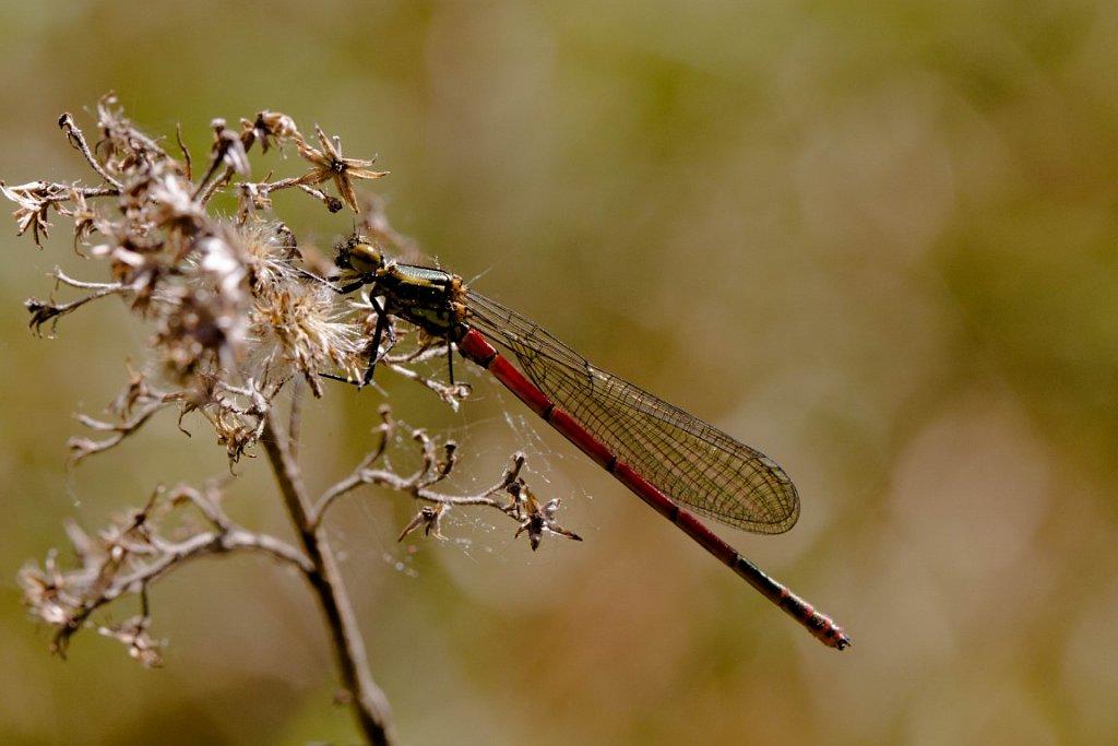 Früehe Adonislebelle (Männchen)