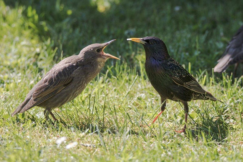 Star-mit-Jungem-Sturnus-vulgaris-Common-starling-feeding.jpg