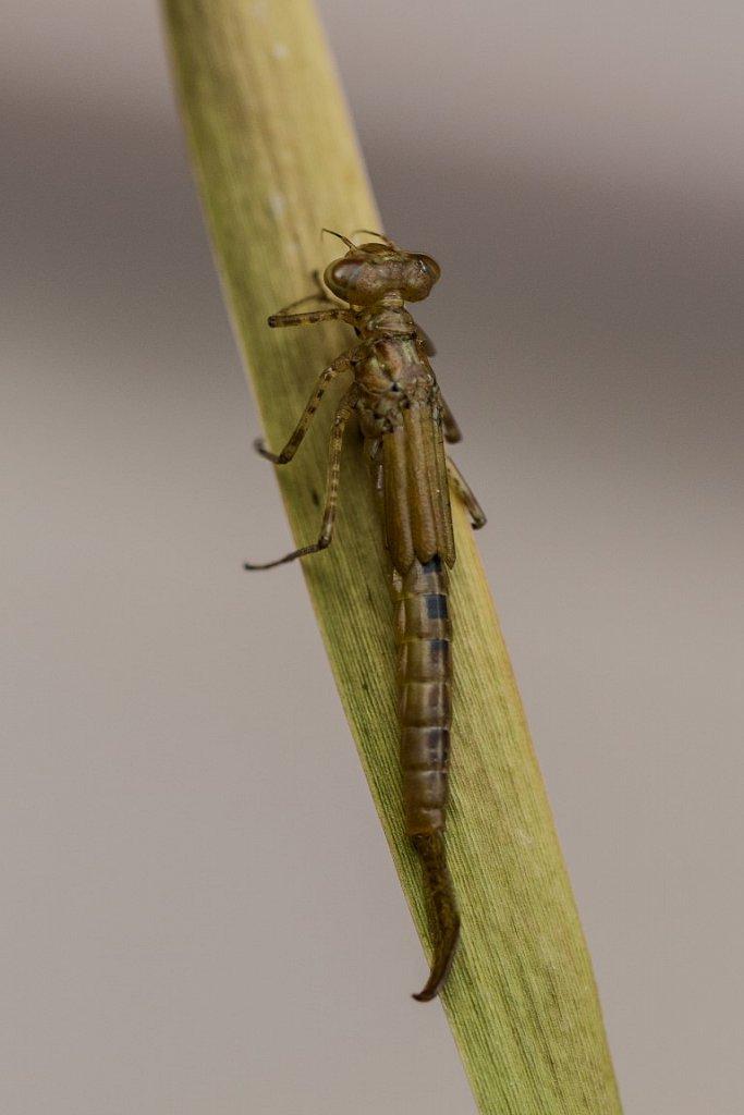 Kleinlibellenlarve-Coenagrion.jpg