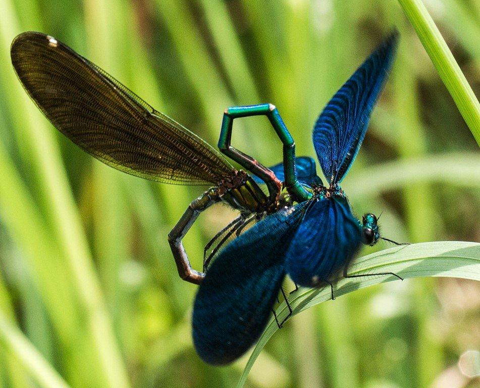 Blaufluegel-Prachtlibelle-Paarung-Calopteryx-virgo.jpg