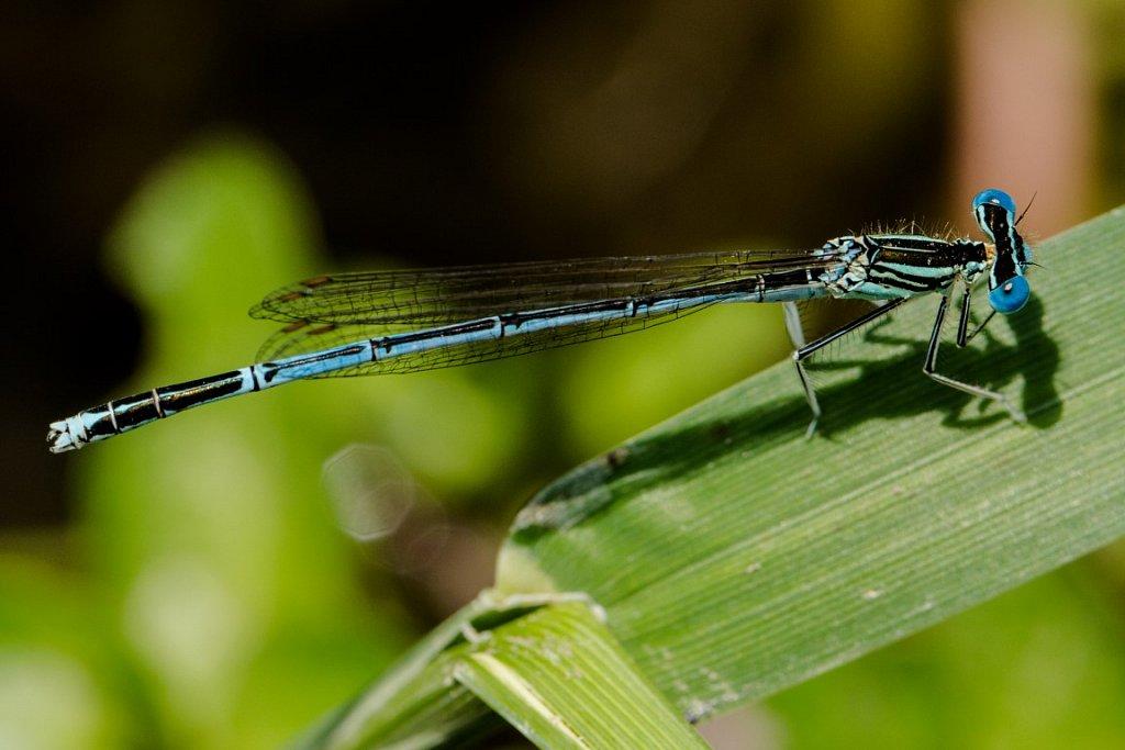 Blaue-Federlibelle-Platycnemis-pennipes-white-legged-damselfly.jpg