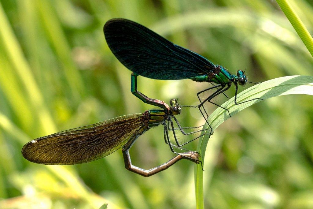 Blaufluegel-Prachtlibelle-Paarung-Calopteryx-virgo-Beautiful-demoiselle-mating.jpg