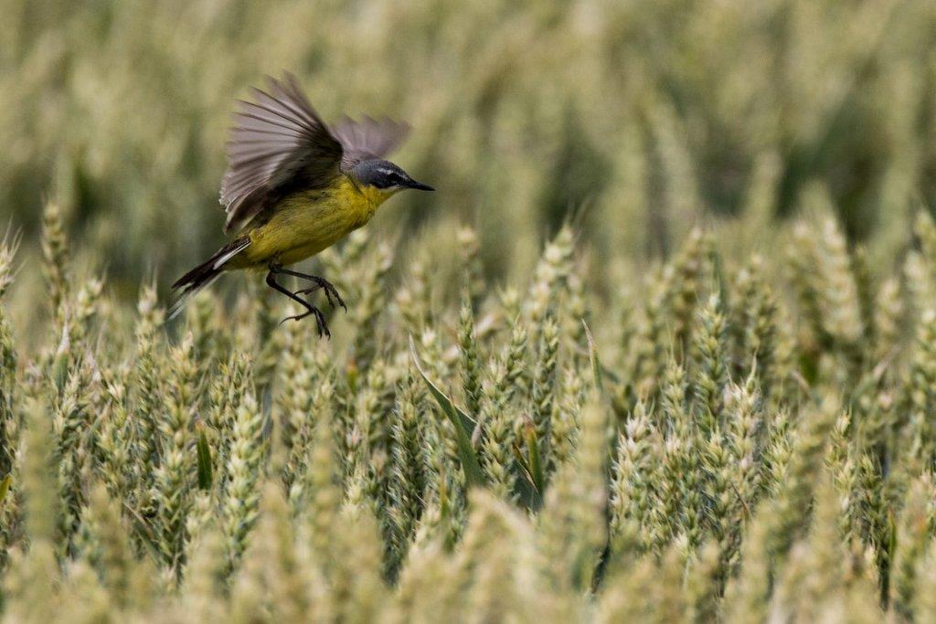 Schafstelze-im-Weizenfeld-Motacilla-flava-Western-yellow-wagtail-in-whaet-feld.jpg
