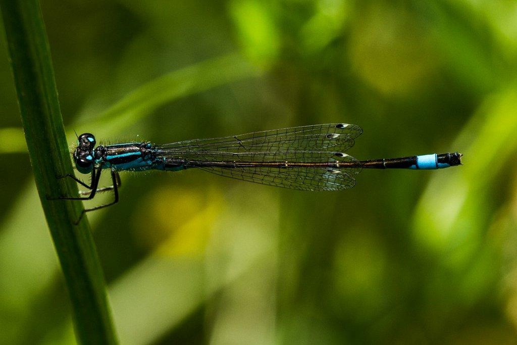 Grosse-Pechlibelle-Ischnura-elegans-Blue-tailed-damselfly.jpg