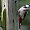 Grosser-Buntspecht-Dedrocopos-major-Great-spotted-woodpecker.jpg