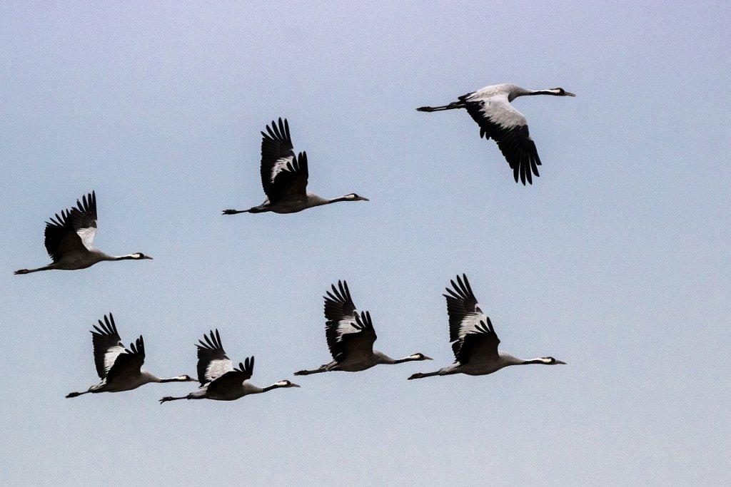 Kraniche-Grus-grus-Eurasian-crane.jpg