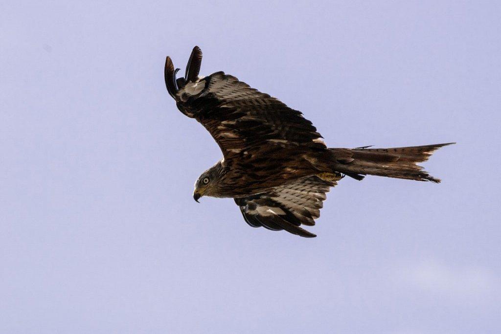 Rotmilan-Red-Kite-Milvus-milvus.jpg