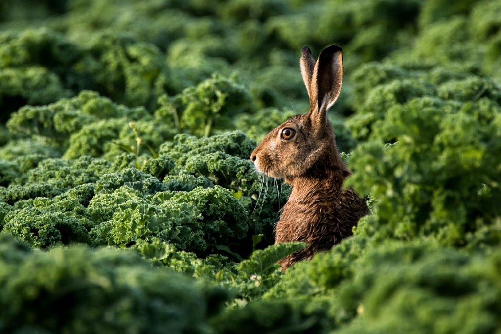 Feldhase-mit-Gruenkohl-Lepus-europaeus-European-hare-with-leaf-cabbage.jpg