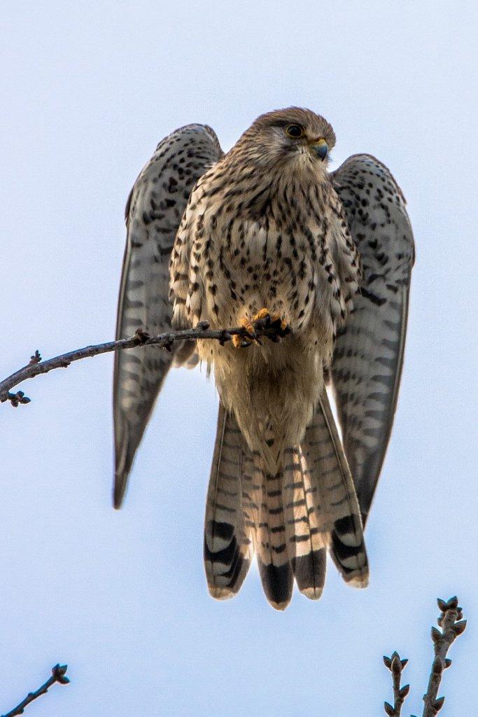 Turmfalke-w-Falco-tinnunculus-female-Kestrel.JPG