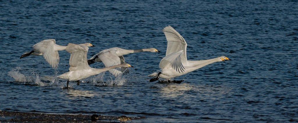 Singschwaene-Abflug-Cygnus-cygnus-Whooper-swan.JPG