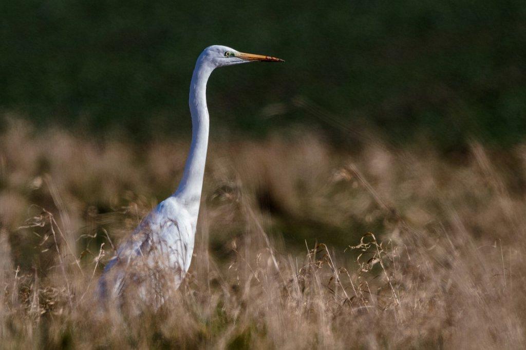 Siberreiher-in-Niederluhe-Ardea-alba-Great-Egret.JPG