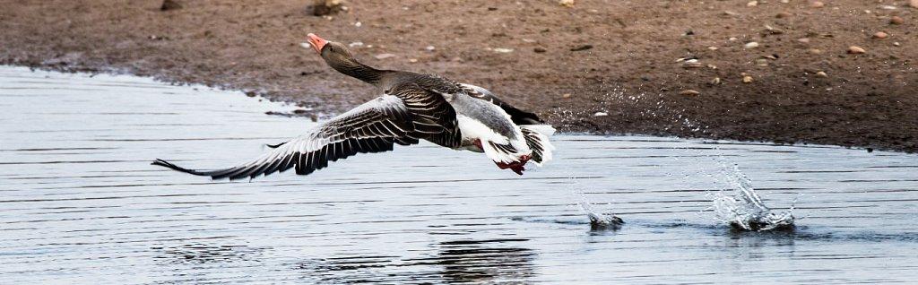 Take-off-Graugans-Anser-Anser-gray-goose.JPG