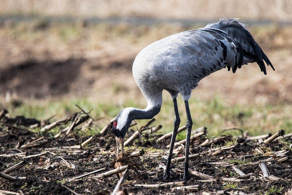 Kranich-mit-Maiskolben-Eureopean-crane-grus-grus.jpg