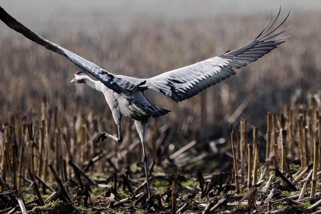 Kranich-startet-European-crane-grus-grus.jpg