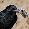 Raucher-Kraehe-Corvus-corone-corone-smoking-crow.JPG