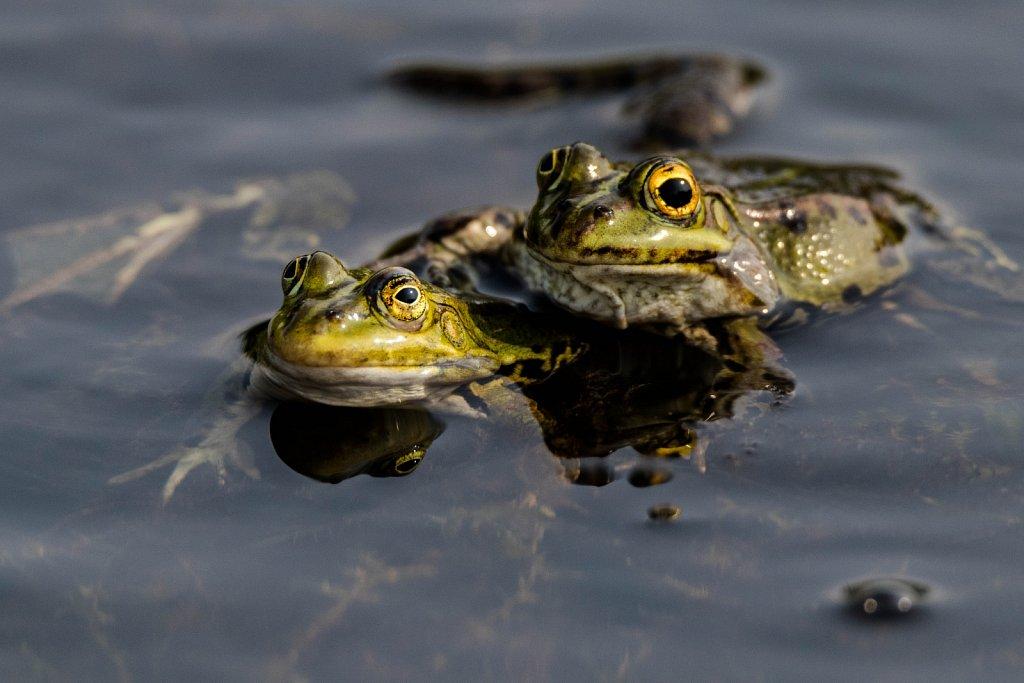 Ziemmlich-beste-Freunde-Teichfrosch-Rana-esculenta-Edible-frog.jpg