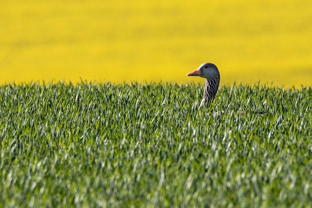berblick-Graugans-anser-anser-greylag-goose.jpg