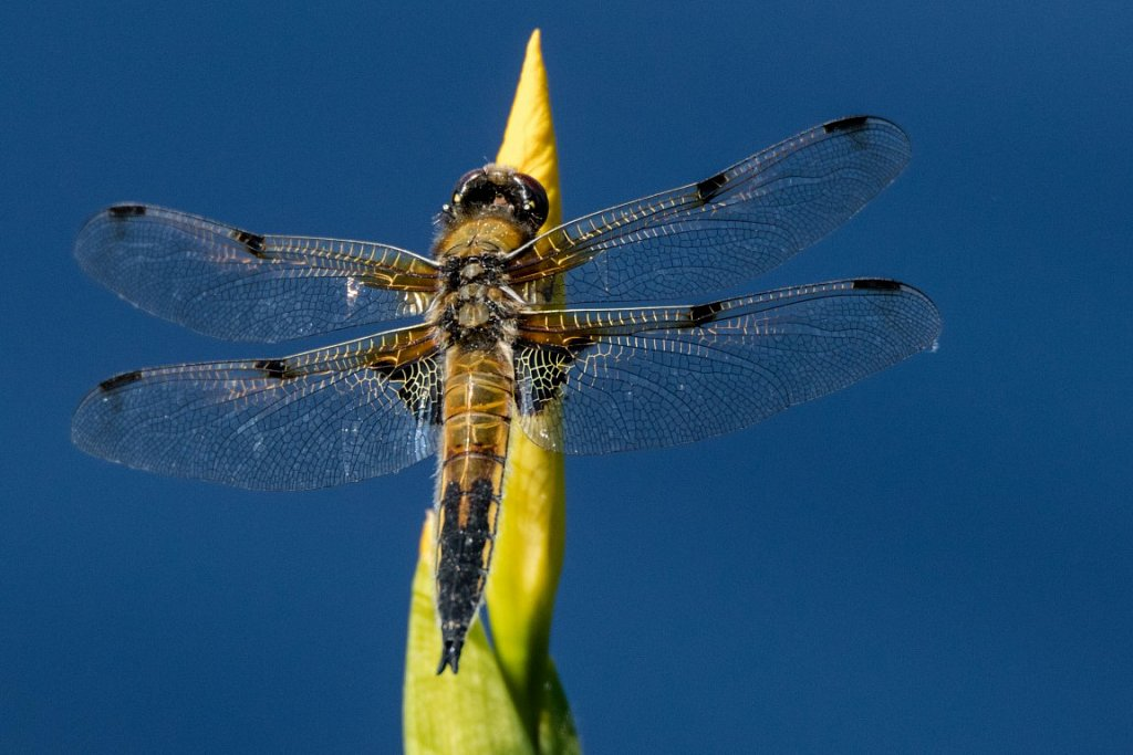 Vierfleck-Libellua-quadrimaculata-fourspotted-chaser.jpg
