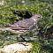 Strandpieper-Anthus-Pretrosus-Eurasian-rock-pipit.jpg