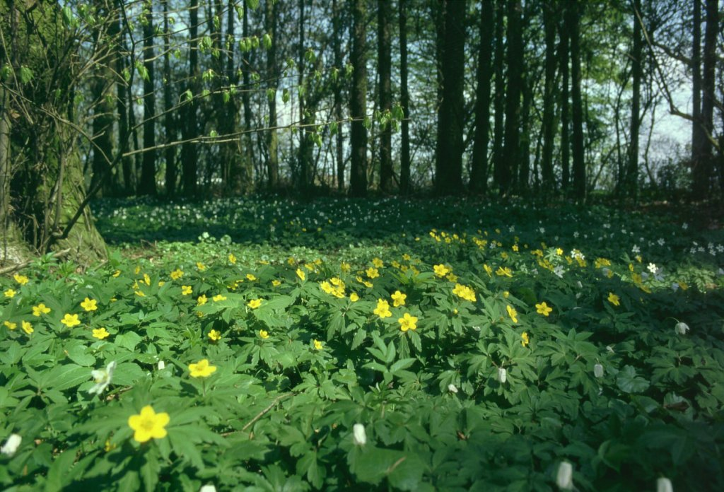 Wald-Fruehblueher-Gross.jpg