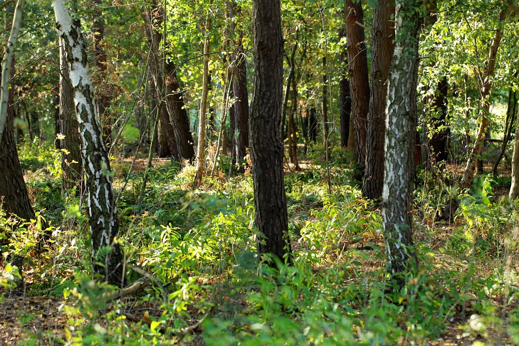Kiefern-Birken-Wald.jpg