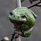Laubfrosch-Hyla-arborea-European-tree-frog.jpg
