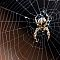Gartenkreuzspinne-Araneus-diadematus-European-garden-spider.jpg
