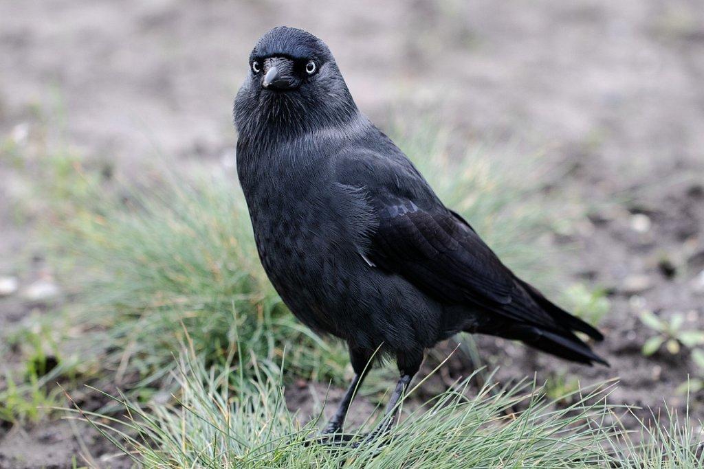 Dohle-Corvus-manedula-jackdaw.jpg