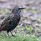 Star-sturnus-vulgaris-starling.jpg