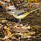 Gebirgsstelze-Motacilla-cineria-Grey-wagtail.jpg