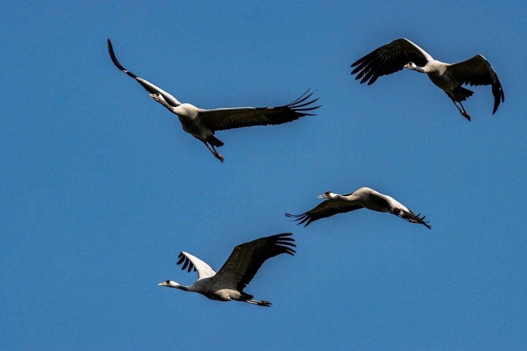 Kranichtrupp-grus-grus-common-crane.jpg
